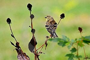 Goldfinch Americano En Plumaje Cambiante Fotos de archivo libres de regalías - Imagen: 21571758
