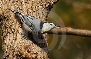 White-breasted Nuthatch Stock Image - Image: 21576391