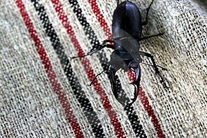 Stag Beetle Stock Photo - Image: 21597050