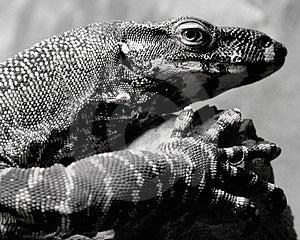 Lizard Stock Image - Image: 2162711
