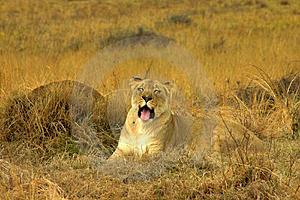 Lioness (Panthera Leo) Lying Royalty Free Stock Images - Image: 2166999