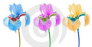 Creative Multicolored Iris Flowers Stock Photos - Image: 21602373
