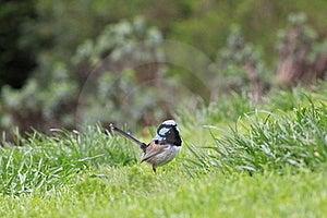 Superb Fairy-wren Bird Stock Image - Image: 21602571