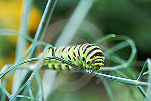Caterpillar Butterfly Papilio Machaon Stock Photos - Image: 21603023
