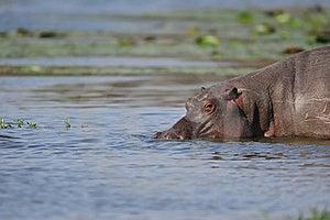 Hippopotamus (Hippopotamus Amphibius) Royalty Free Stock Photos - Image: 21605748