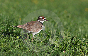 Killdeer Royalty Free Stock Photos - Image: 21611518