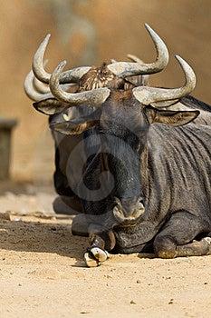 Black-bearded Blue Wildebeest Stock Images - Image: 21613314