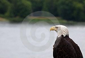 Adult Bald Eagle Royalty Free Stock Image - Image: 21618666