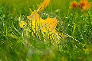 Yellow Maple Leaf In Grass Royalty Free Stock Images - Image: 21623709