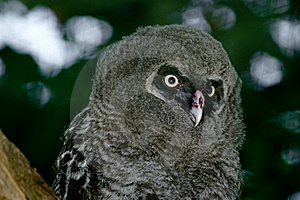 Great Grey Owl Chick Stock Image - Image: 21628731