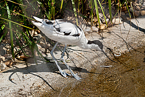 Pied Avocet Foraging For Food Stock Images - Image: 21628774