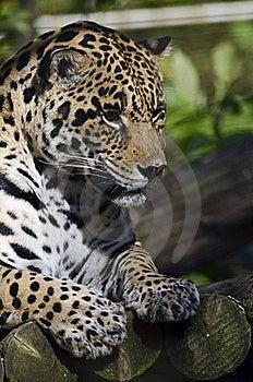 Jaguar Royalty Free Stock Photos - Image: 21631478