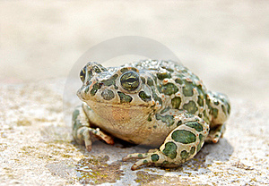 Big Toad Stock Photography - Image: 21640882