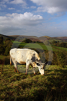 Cow Grazing In The Welsh Hills Stock Image - Image: 21666451