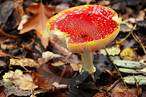 Old Fly Agaric Stock Photography - Image: 21673952