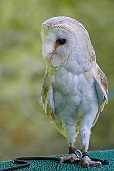 Barn Owl Stock Images - Image: 21680254