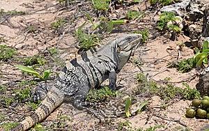 Iguana In The Wild Nature. Mexico Stock Photo - Image: 21696080
