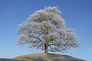 Frosty Tree Stock Photo - Image: 21699820