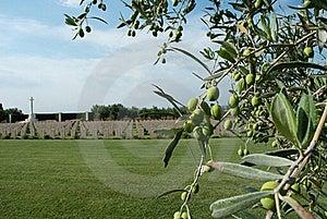 British Military Memorial And Olive Tree Stock Photo - Image: 21700690