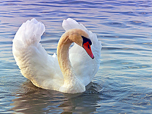 Graceful Swan Royalty Free Stock Photos - Image: 21705508