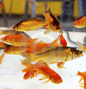Red Fishes Royalty Free Stock Photography - Image: 21714637
