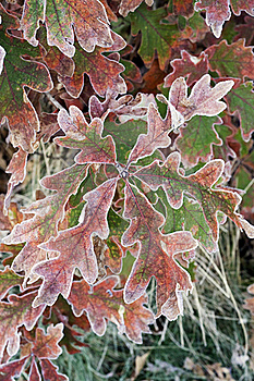 Frosted Oak Leaves Royalty Free Stock Photos - Image: 21717868