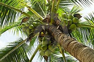 Green Coconut Tree Royalty Free Stock Photos - Image: 21739078