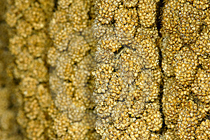 Millet Ears Stock Images - Image: 21742364