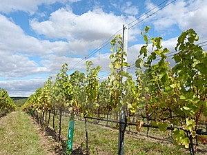 Vineyard Stock Photo - Image: 21774850