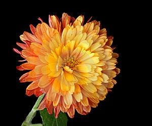Mum Alaranjado Isolado Fotografia de Stock - Imagem: 21784652