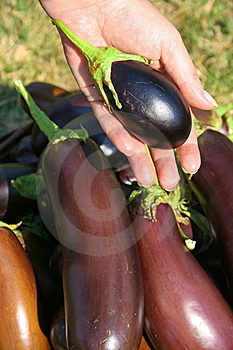 Small Egg-plant Stock Photos - Image: 21789753