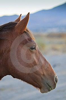 Wild Horse Profile Royalty Free Stock Photography - Image: 21795227