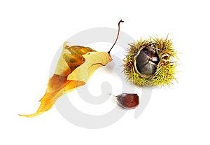 Edible Chestnut Stock Photos - Image: 21796583