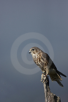 Merlin Royalty Free Stock Image - Image: 21800466