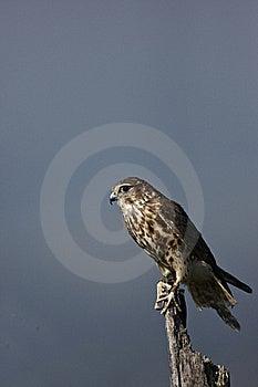 Merlin Royalty Free Stock Image - Image: 21800466
