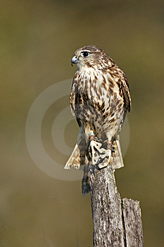 Merlin Royalty Free Stock Photography - Image: 21803187
