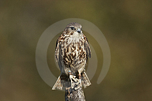 Merlin Stock Images - Image: 21803214