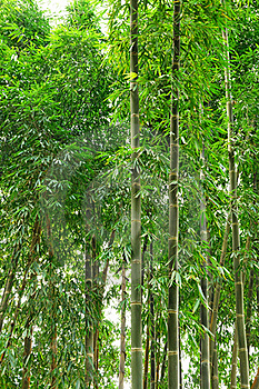 Bamboo Royalty Free Stock Images - Image: 21814119