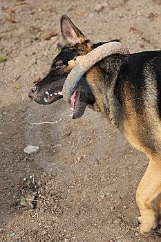 German Shepherd Royalty Free Stock Images - Image: 21848029
