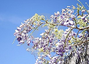 Wisteria Flower Royalty Free Stock Image - Image: 21868156