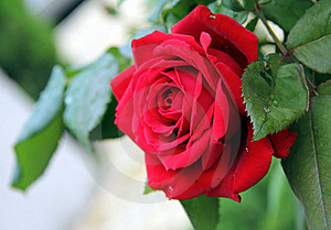 Red Delicate Rose Royalty Free Stock Photo - Image: 21873735