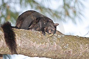 Black Squirrel Royalty Free Stock Photo - Image: 21880655