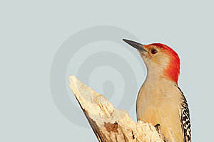 Red Bellied Woodpecke Stock Photos - Image: 21880733
