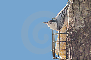 Nuthatch Royalty Free Stock Photos - Image: 21880778