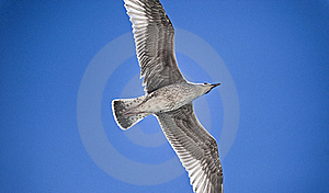 Peaceful Seagull Royalty Free Stock Photo - Image: 21882645