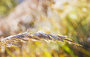 White Frost On A Spike Stock Images - Image: 21884944
