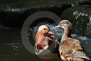 Duck Royalty Free Stock Image - Image: 21888256