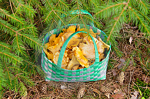Basket Of Chanterelles. Royalty Free Stock Photos - Image: 21889958