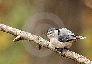 White-breasted Nuthatch, Sitta Carolinensis Stock Photos - Image: 21899273