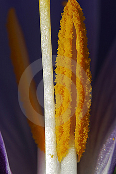 Crocus Vernus - Stamen Stock Photos - Image: 2194683